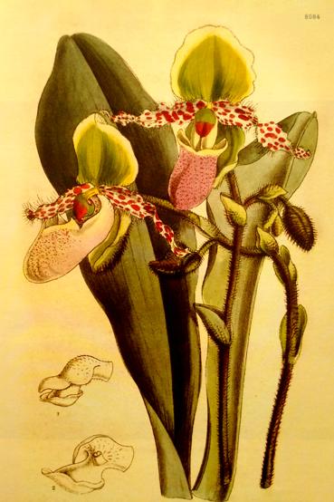 P. glaucophyllum