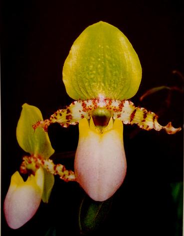 P. primulinum fma