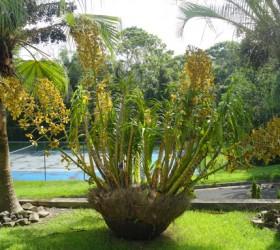 Grammatophyllum speciosum 1 copy