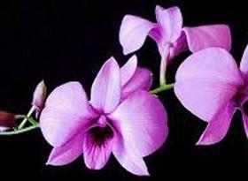 den_phalaenopsis